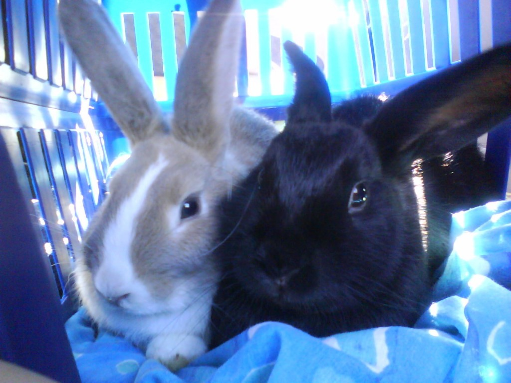 Pet Rabbits at Crescent Vets Tewkesbury